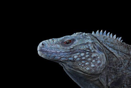 Blue Iguana 1