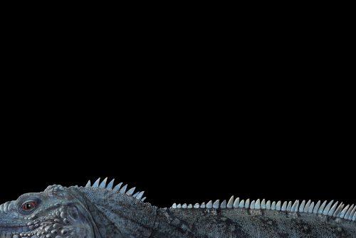 Blue Iguana 4