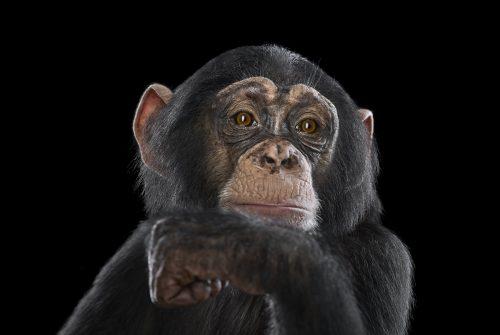 Chimpanzee 16