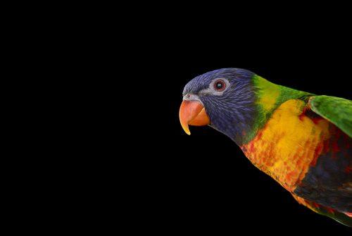 Rainbow Lorikeet 2