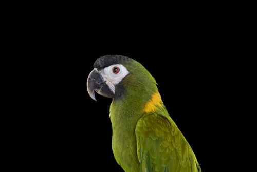 Yellow Collared Macaw 1